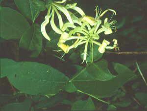 Madresela de bosque (Lonicera periclymenum)