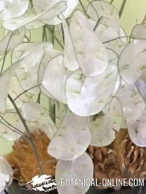 lunaria annua planta seca