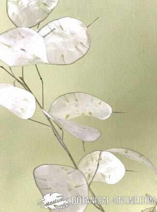 lunaria annua planta plata luna