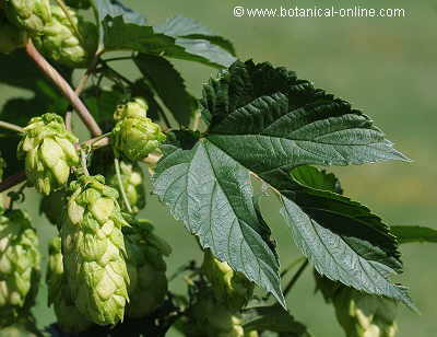 hops, flowers and leaves