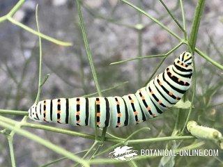 mariposa macaon larva