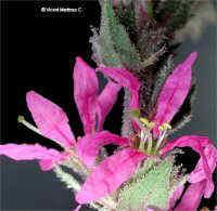 Lythrum salicaria L.