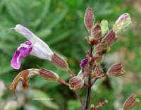 (Salvia)