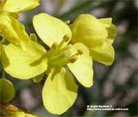 Erucastrum nastuttiifolium