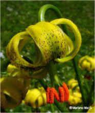 Lilium pyrenaicum Gouan