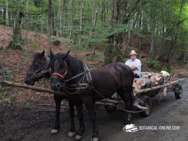 Carreta transportando troncos de haya en los Cárpatos