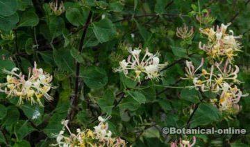 foto planta madreselva en flor y hojas