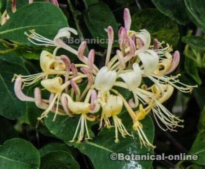 foto madreselva flores