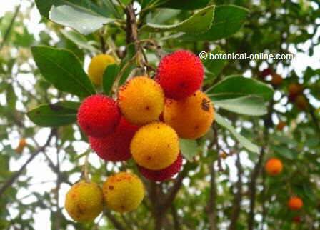 Fruto del madroño en la alimentación
