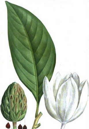 Propiedades y cultivo de la magnolia - Semilla de magnolia ...