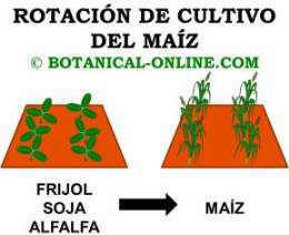 rotación de cultivos del maíz con frijol, soja o alfalfa