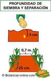 siembra del maíz, profundidad de siembra y espacio entre plantas