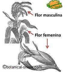 Tipos de flores del maiz, flor femenina y flor masculina