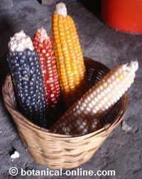 foto de los tipos de maíz: blanco, negro, rojo, amarillo