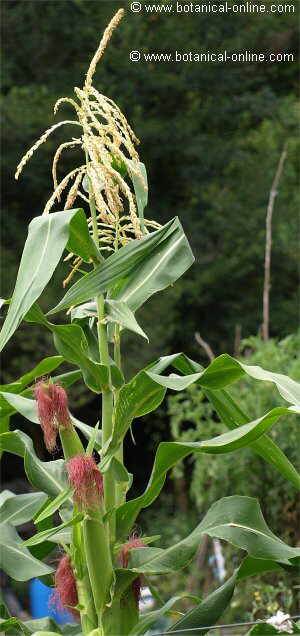 foto de maíz