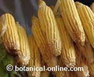 maíz rico en cromo