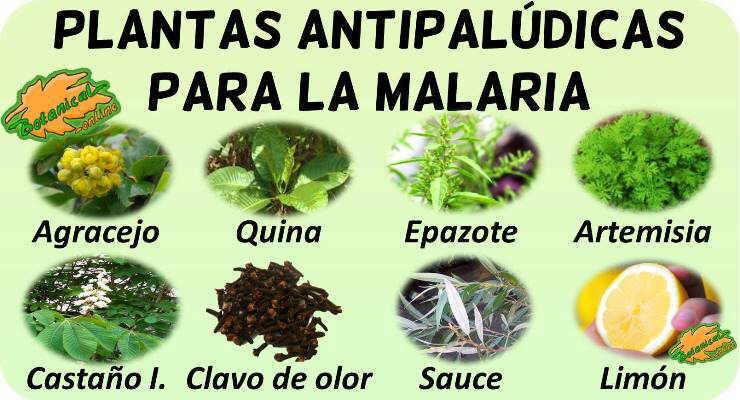 remedios naturales con plantas medicinales tratamiento natural malaria plantas medicinales antipaludicas