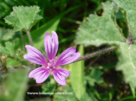 Photo of mallow flower and leaves