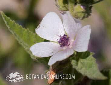 flor de Malvavisco