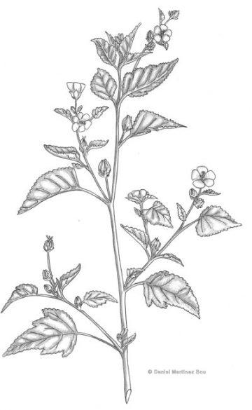 ilustracion de la planta malvavisco