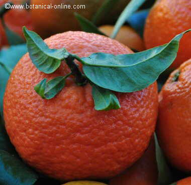 mandarina caracteristicas