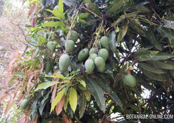 arbol de mangos
