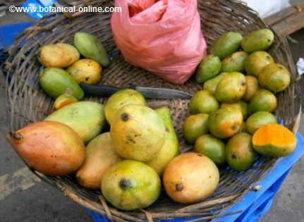 Ripe mangoes in a basket