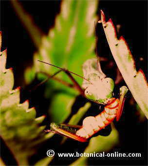 Mantis religiosa comiendo