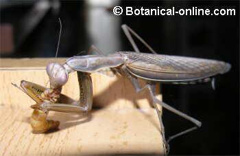 mantis comiendo