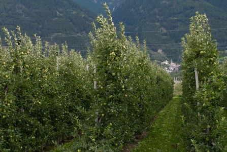 cultivo manzanas