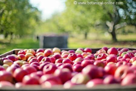 Manzanas producidas en una huerta orgánica