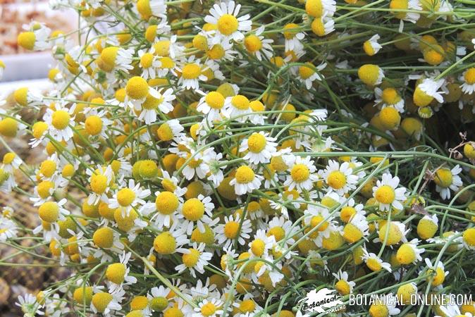 ramo de manzanilla Matricaria chamomilla