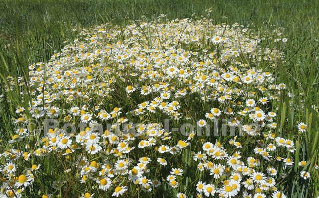 manzanilla sembrado campo trigo