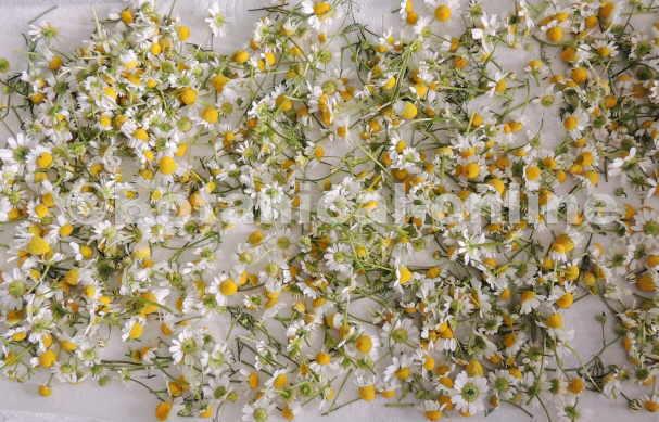 Flores de manzanilla puestas a secar para infusiones