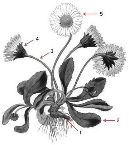 margarita maya daisy flower