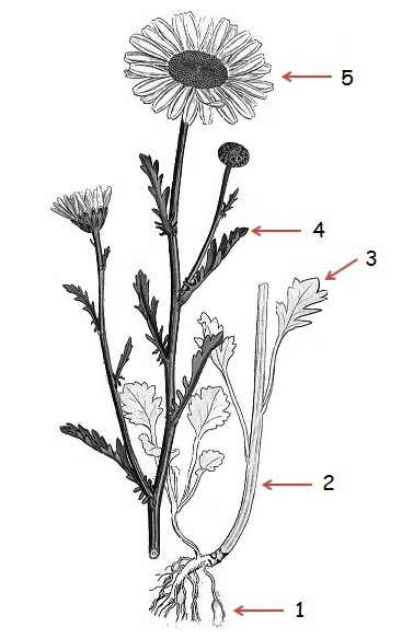 En la imagen  ilustraci  243 n bot  225 nica de la margaritaLeucanthemum Vulgare Drawing
