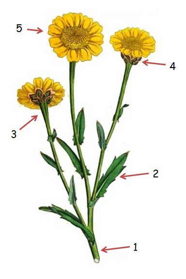 crisantemo sembrados