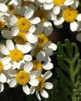 margarita pegajosa tanacetum ferulaceum