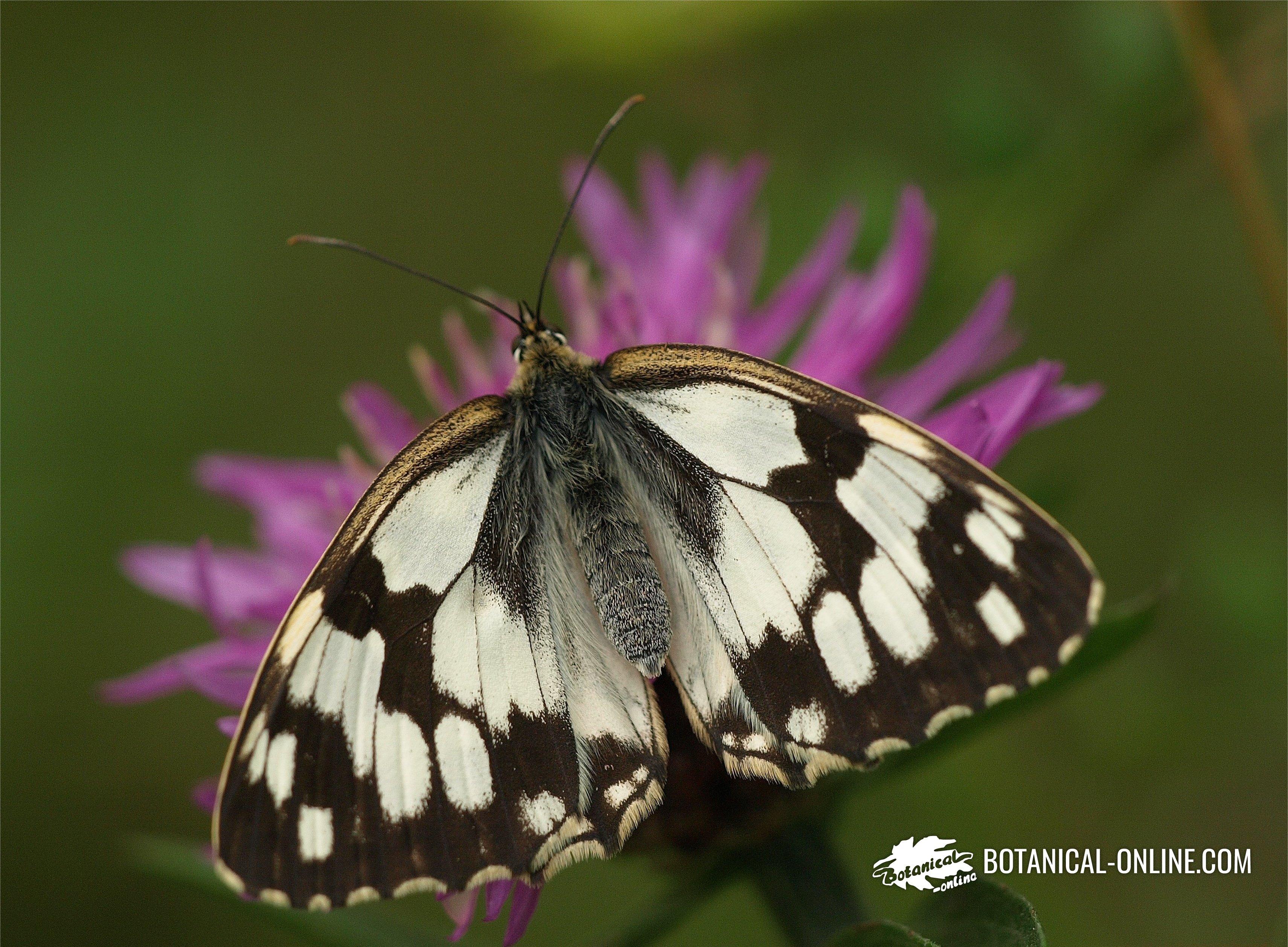 mariposa medioluto ibérica