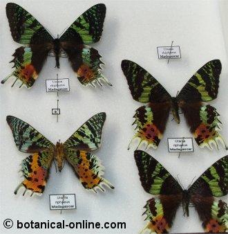 Por qu las mariposas son de colores