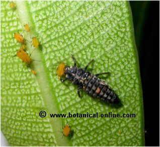 mariquita larva