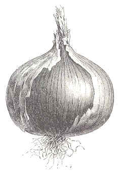 bulbo cebolla