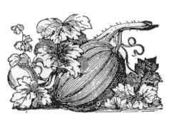 Fruto de calabacera