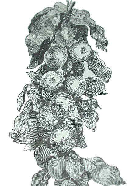 Dibujo de manzanas