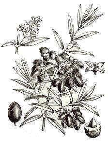 dibujo de olivo