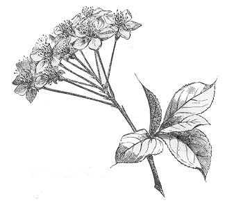 hojas y flores de la planta