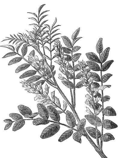 A drawing of the plant