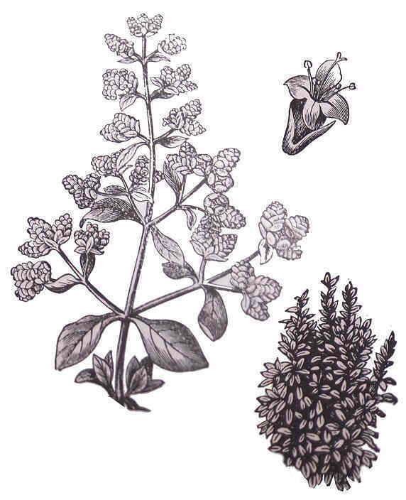 Mejorana, planta medicinal