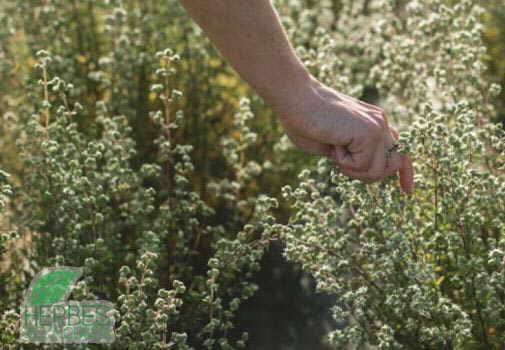 mejorana campo cultivo origanum