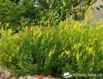 meliloto de flor amarilla jardin